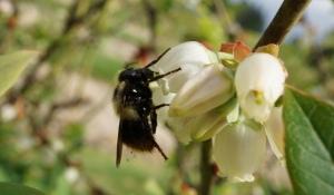 worker bumblebee